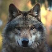 Grau Wolf