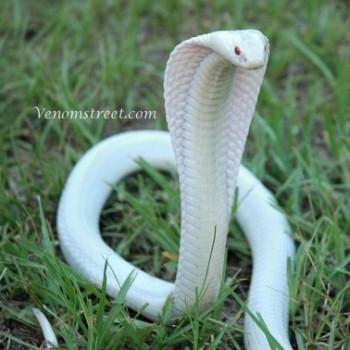 oleg snake