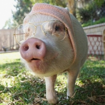 Весенняя Толстая Свинья